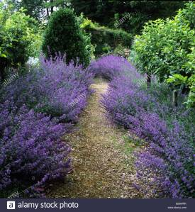 hadspen-house-somerset-gravel-path-with-catmint-borders-nepeta-x-faasenii-B29WRK