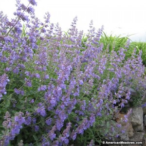 nepeta_near field stones