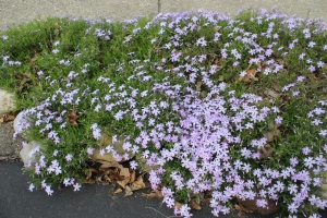 Phlox and stones USE
