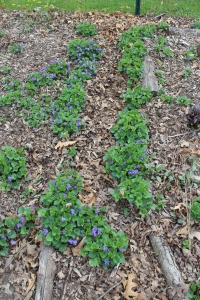Violets and logs in garden USE